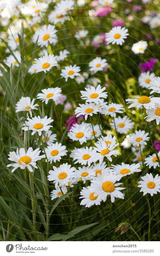 Eine wilde Naturwiese mit vielen weißen Margeriten Blume Sommer Frühling gelb grün Makroaufnahme Blühend Pflanze Blüte Farbfoto Nahaufnahme Menschenleer Tag