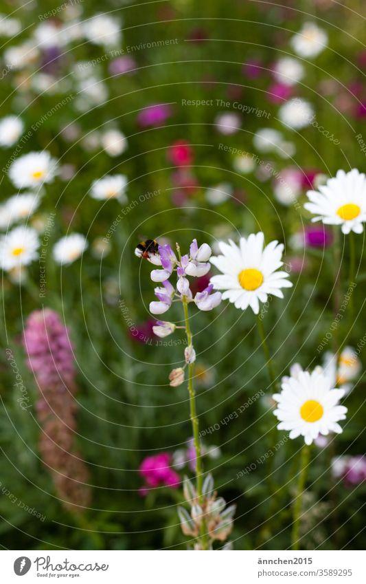 Eine Hummel sitzt auf einer Blume die in einer bunten Blumenwiese steht sammeln Blüte Natur Insekt Makroaufnahme Pflanze Pollen Sommer grün gelb Farbfoto