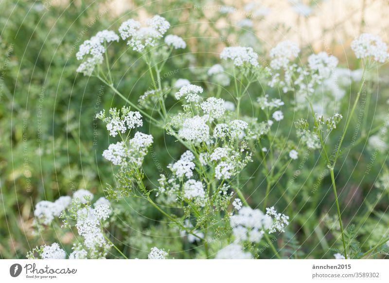 weiße Blüten einer Sommerwiese mit Sonnenschein Wiese grün sommer Frühling blühen Natur Blume Pflanze Nahaufnahme Garten Farbfoto Menschenleer Gras