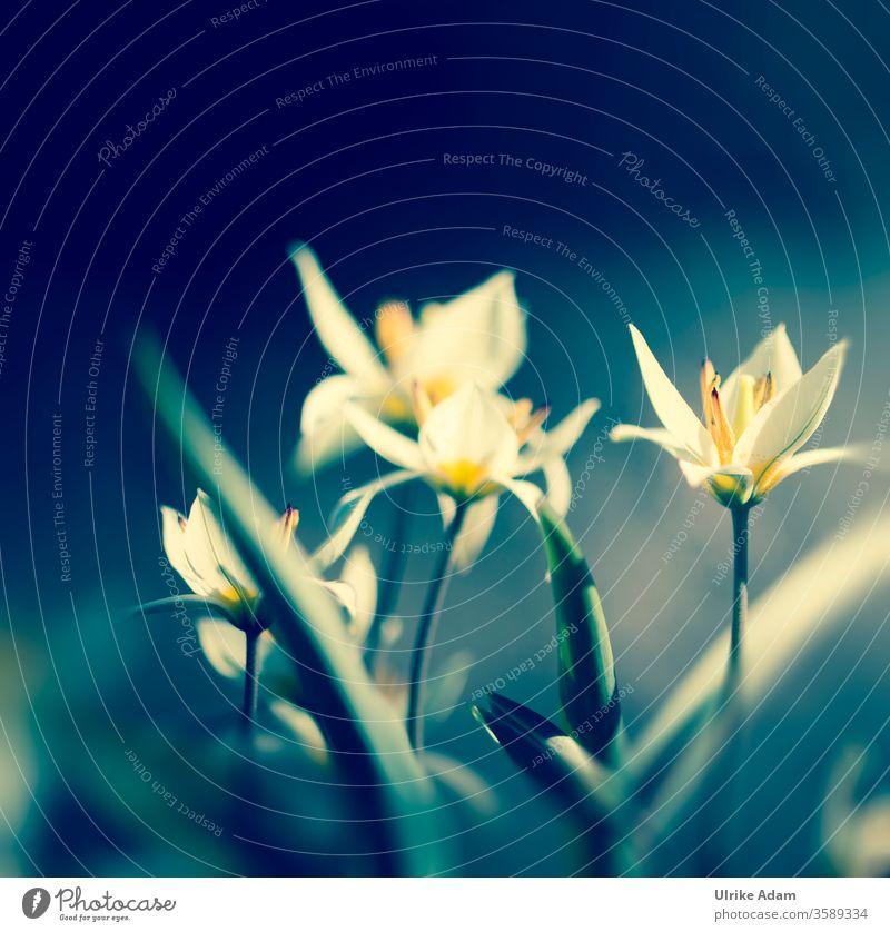 Zwergtulpen Muttertag Ostern Pflanze Frühling Natur Valentinstag Spa Meditation Zufriedenheit harmonisch Wellness Blume Blüte Tulpe Garten Blühend