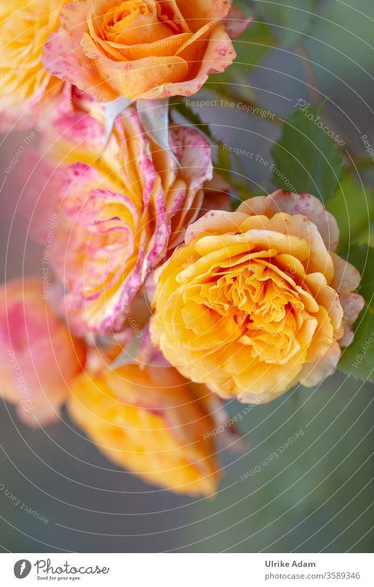 HAPPY BIRTHDAY PHOTOCASE ZUM 19. GEBURTSTAG ........ Rosen für einen besonderen Tag Orange Blumen Glückwunsch Blüten Sommer Zart Farbenfroh Garten Postkarte