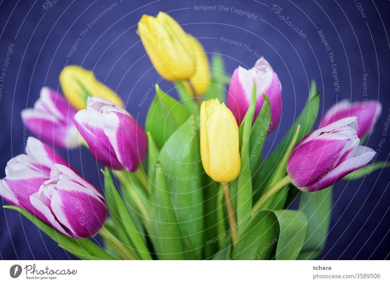 Bouquet von wunderschönen gelben und violetten Tulpen auf dunkelblauem Hintergrund Transparente Kopie Papier Pflanze Postkarte Raum Dekoration & Verzierung Kopf