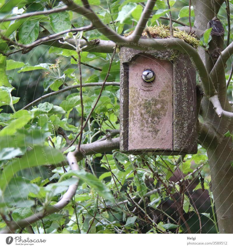 piep - Blaumeise schaut aus einem bemoosten Nistkasten, der zwischen den Zweigen im Apfelbaum hängt Vogel Meise brüten schauen Baum Blätter Tier Außenaufnahme