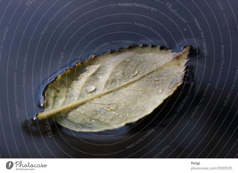 ein abgefallenes Rosenblatt mit Tropfen schwimmt in einer Wasserlache auf dem Gartentisch Blatt Rückansicht Blattadern Regentropfen Lache Pfütze schwimmen Licht