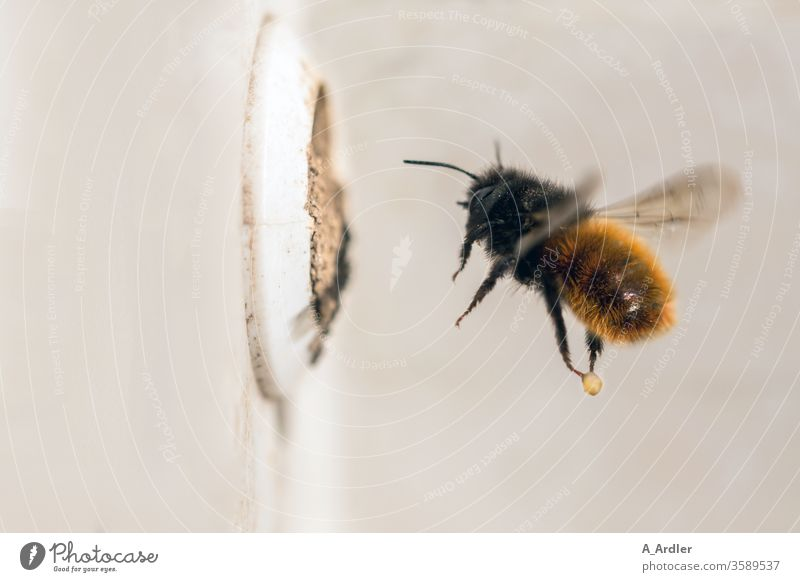 Makroaufnahme einer Mauerbiene (Osmia cornuta) im Flug Biene Bienen Brutzelle Lehm Loch Natur Wildbiene Wildbienen fliegen Insekt Tier Flügel Farbfoto
