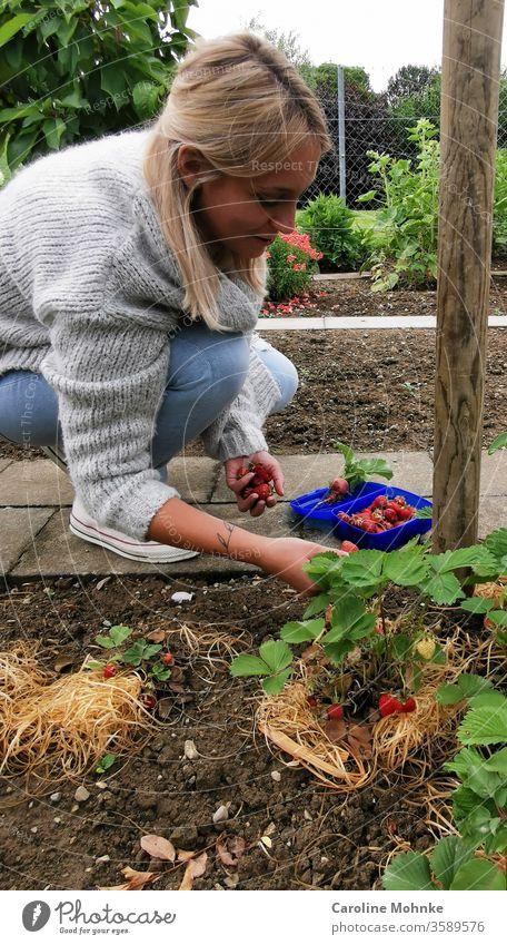 Zufrieden Erdbeeren pflücken Garten Farbfoto Frucht Sommer Lebensmittel Natur Bioprodukte Ernährung Vegetarische Ernährung Gesunde Ernährung Stil Design Diät