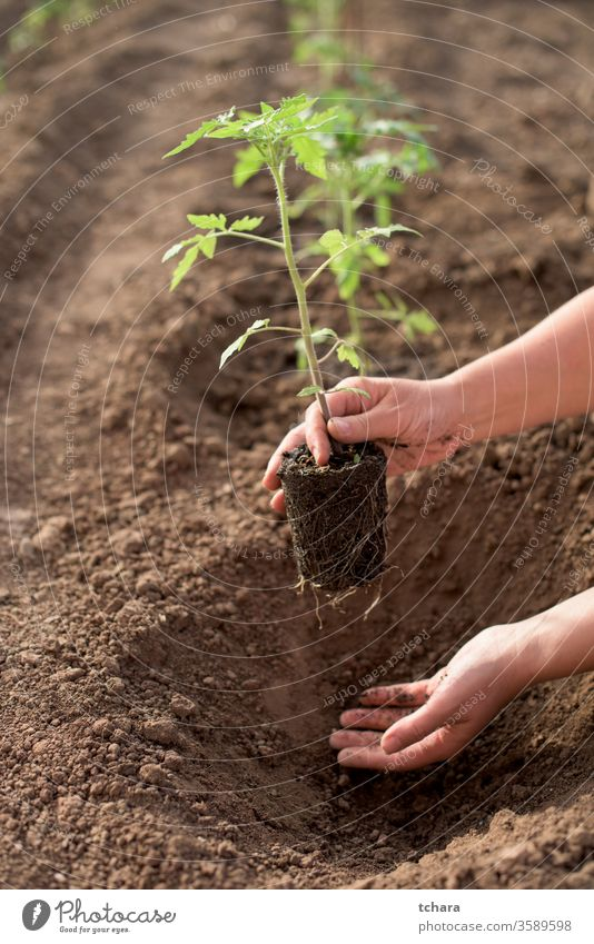 Weibliche Hände säen neue Tomatenpflanze in einem Gemüsegarten selektiv Details Buchse Gewächshaus Nahaufnahme Aussaat saisonbedingt Monokultur Schmutz Frische