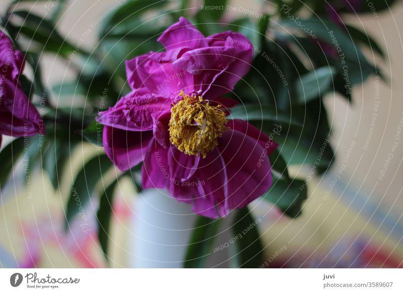 verblühte Pfingstrose Blume verblühte Blume pink gelb grün verschwommener Hintergrund einzeln Unikat grüne Blätter Farbfoto rosa Frühling schön vergangen alt