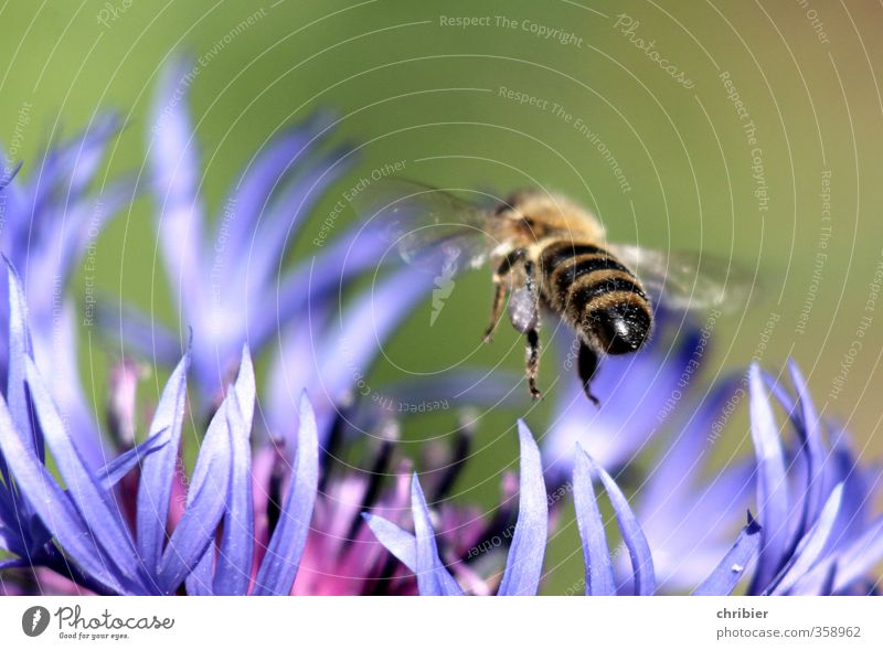 Hummelhintern Landschaft Sommer Blume Kornblume Garten Wiese Tier Biene Flügel 1 wählen beobachten Blühend Duft fliegen Fressen nah blau grün violett