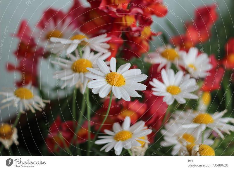 Margeriten und Löwenmaul in Weiß und Rot verschwommen Margerite fokussiert verspielt Blumen Natur Sommer schön gelb rot blüht blühen rot-gelb