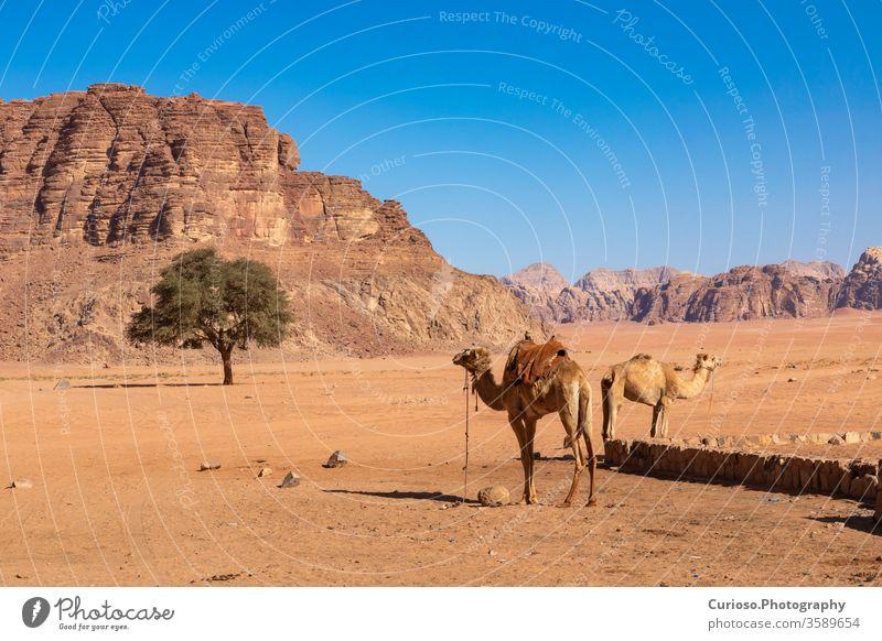 Rastende Kamele, Wüste Wadi Rum, Jordanien. wüst Landschaft Sand reisen Osten Mitte Felsen Natur Tal rot Tourismus Himmel Berge u. Gebirge Ansicht trocknen