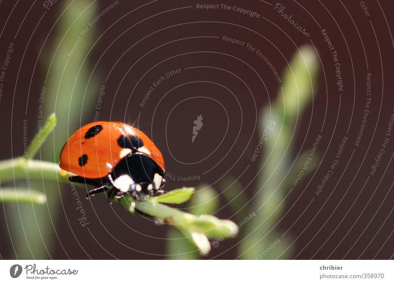 Käwrschn I Natur Landschaft Tier Sommer Pflanze Garten Käfer Marienkäfer 1 Erholung krabbeln sitzen schön klein nah grün rot schwarz Zufriedenheit Glück Umwelt