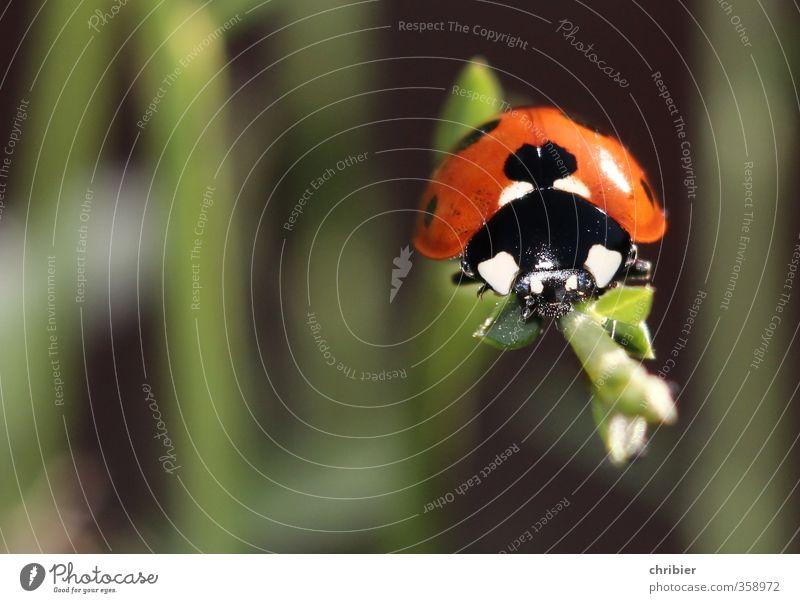 Käwrschn II Umwelt Natur Tier Sommer Pflanze Käfer Marienkäfer 1 beobachten Erholung krabbeln sitzen warten schön klein nah grün rot schwarz Zufriedenheit Glück