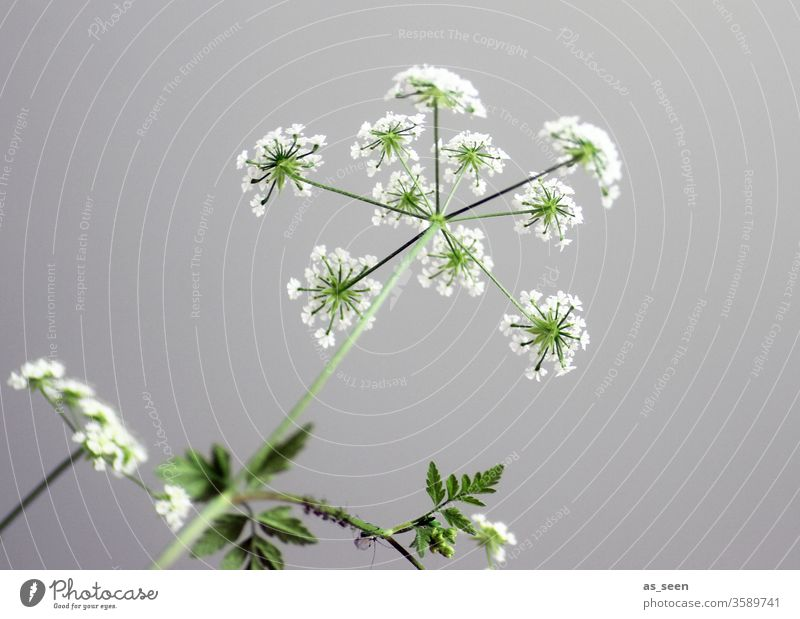 Gefleckter Schierling weiss Sternchen Pflanze Blüte weiß Blume Natur grün Sommer Umwelt Farbfoto Menschenleer Außenaufnahme Tag schön Schwache Tiefenschärfe