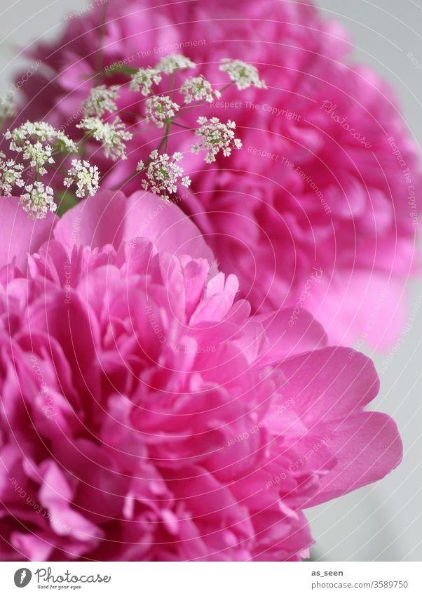 Pinke Pfingstrosenblüte Blüte pink Licht Schatten Blütenblätter Blume Natur rosa Frühling Sommer schön Farbfoto Nahaufnahme Blühend Menschenleer Blütenblatt