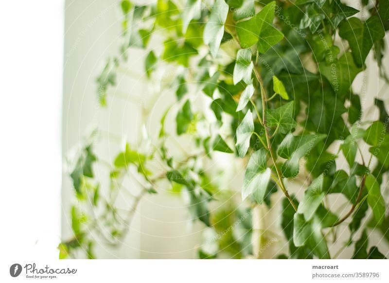 Efeu ZImmerpflanze efeu hedera zimmerpflanze pflanzlich weiß wohnung floral blatt blätter rankpflanze helix grün botanik grüner daumen kultiviert