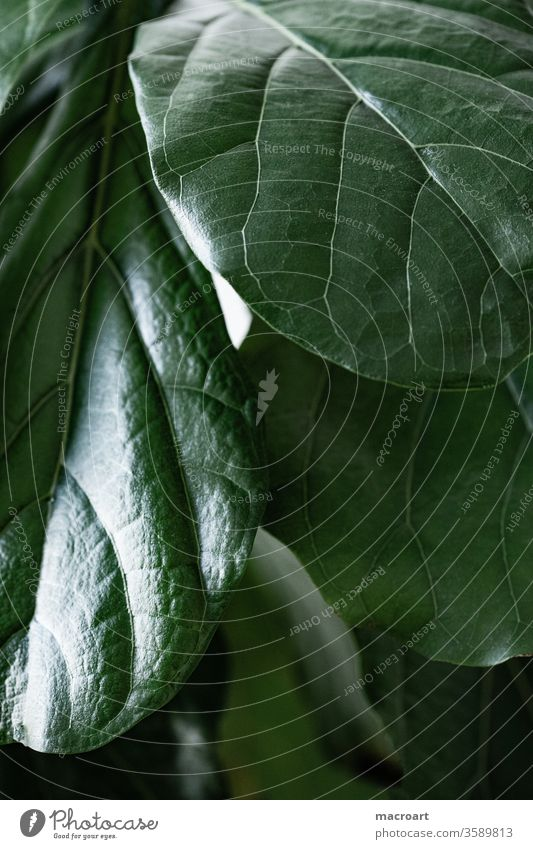 Blätter einer Geigenfeige - Ficus Lyrata Ficuy lyrata ficus geigenförmig maulbeergewächs blatt blätter blattadern grün glanz glänzend makro makroaufnahme