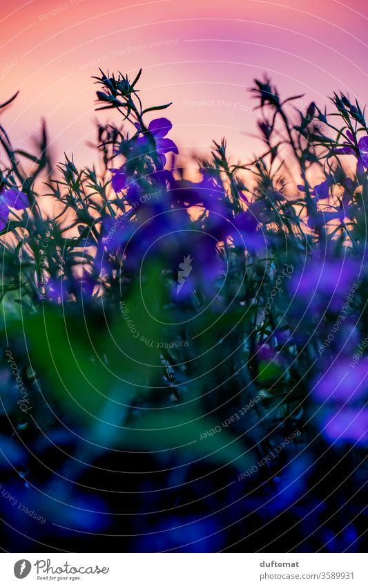 Lobelia erinus, (auch Männertreu genannt) im abendlichen Gegenlicht Golden Hour Pflanze Sonnenuntergang Abenddämmerung Dämmerung Lobelie Sonnenuntergangshimmel