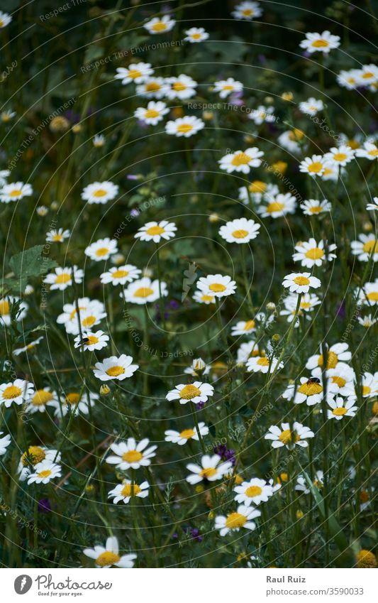 Blumenteppich im hellen und warmen Frühling, Kamille niemand geblümt Cloud Weide im Freien ländlich Echte Kamille Gänseblümchen Feld Natur Himmel frisch Land