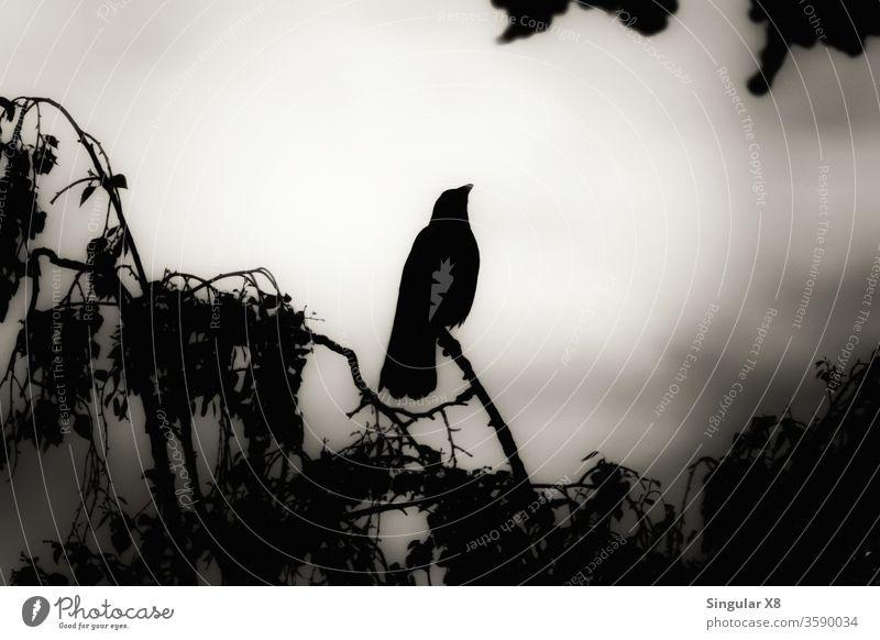 Nebelkrähe Krähe Rabenvögel raven fog eve evening Abend Abenddämmerung Natur Vogel Vögel animal bird