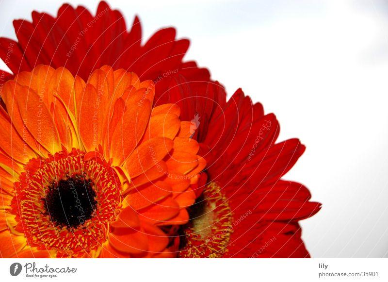 Gerberastrauß Blume rot Makroaufnahme Nahaufnahme orange Himmel Kontrast satte Farbe