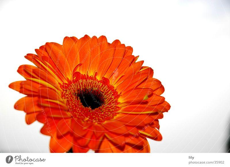Gerbera orange Blume Makroaufnahme Nahaufnahme Himmel Kontrast satte Farbe