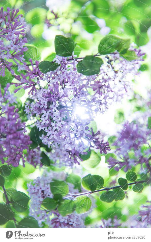 zwergflieder Natur Pflanze Sonne Sommer Schönes Wetter Baum Sträucher Fliederbusch Blüte Garten Park hell natürlich schön grün violett Duft Beleuchtung frisch