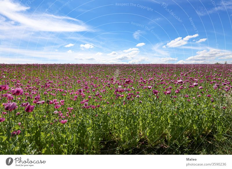 Feld mit rotvioletten Mohnblüten im Sommer Ackerbau Hintergrund schön Schönheit Blütezeit Blütenknospen Wolken Farbe farbenfroh Land Landschaft dekorativ