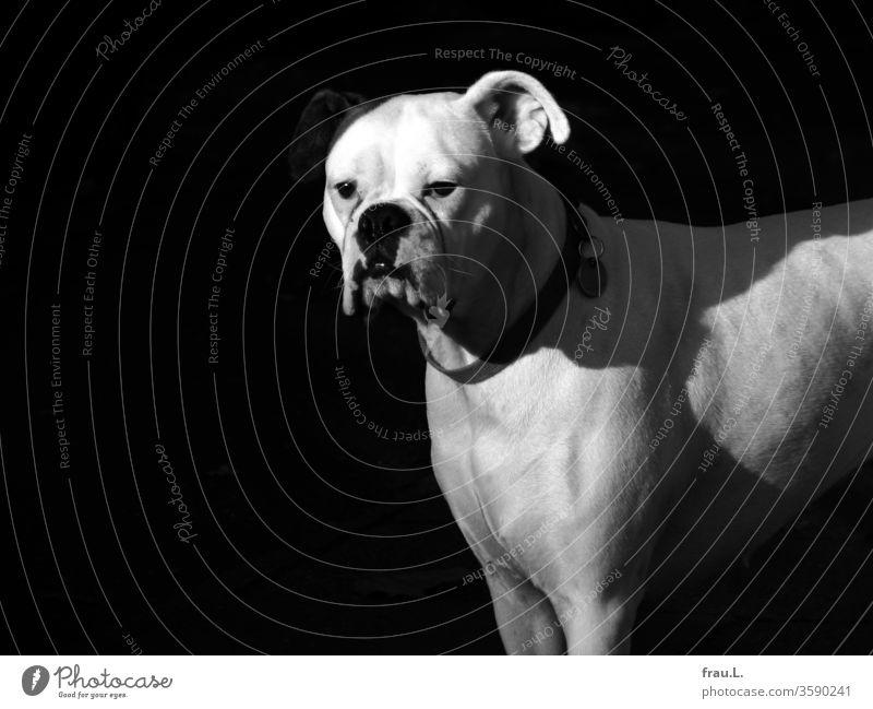 Die weiße Boxerhündin blickte traurig, da ihr rechtes Ohr schlecht ausgeleuchtet war. Hund Haustier Tierporträt Außenaufnahme Sonnenlicht