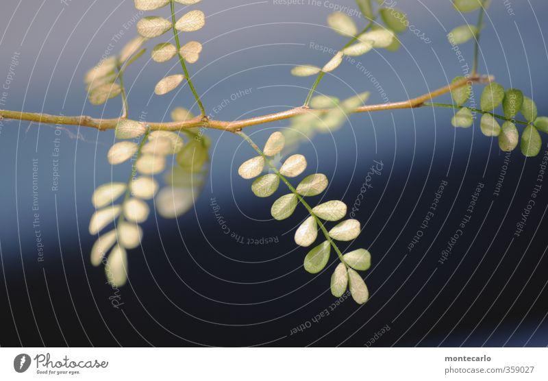 Sophy Umwelt Natur Pflanze Sommer Baum Grünpflanze Wildpflanze Topfpflanze exotisch sophora dünn authentisch einfach kaputt klein Krankheit wild blau grün