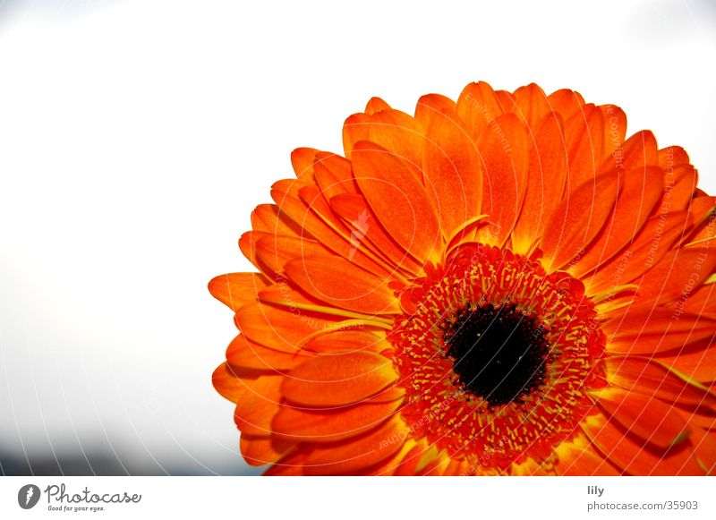 Gerbera orange #2 Himmel Blume Muttertag
