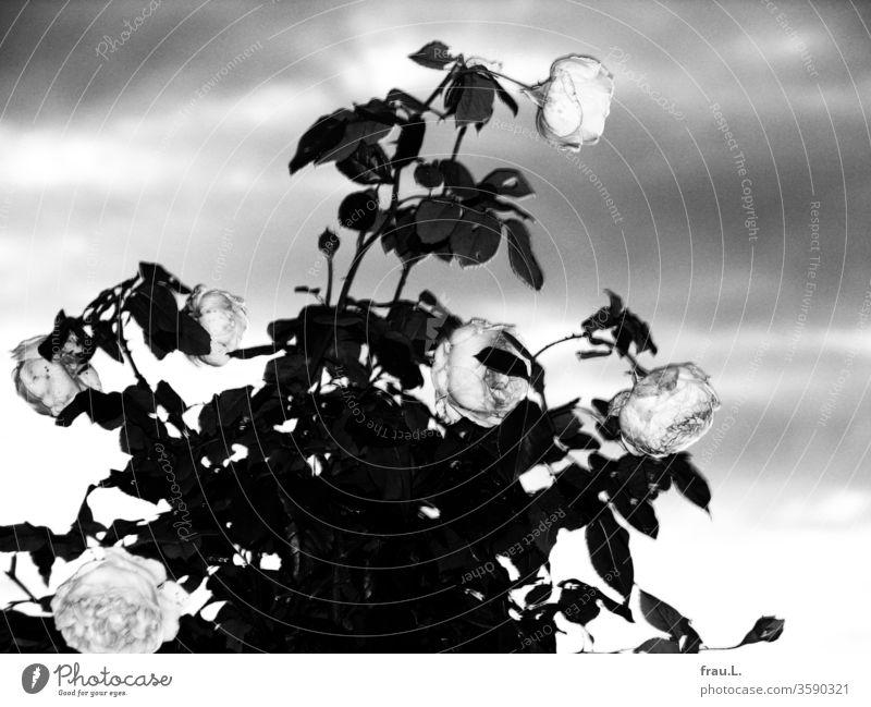 Graue Rosen, graue Wolken, grauer Tag. Rosenstock Abraham Darby David Austin Himmel Blitzlichtaufnahme Englische Rose Rosenblüten