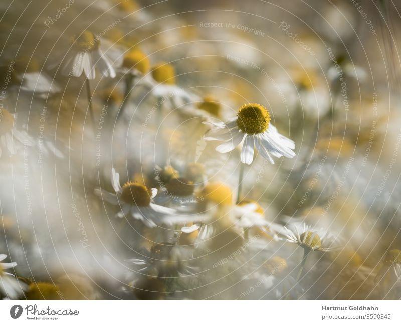 Eine Wiese mit blühenden Kamillenblüten im Sonnenlicht.Der Fokus liegt auf einer einzelnen Blüte innerhalb der Wiese. Blüten botanik Gesundheit Heilmittel
