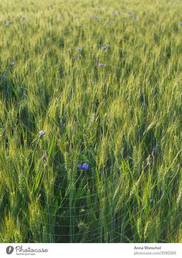Ein Kornfeld mit Roggen und Flockenblumen bei Sonnenuntergang Feld Wiesen Sommer Natur Ackerbau Landschaft Getreidefeld Pflanzen Ähren Tag Umwelt Lebensmittel