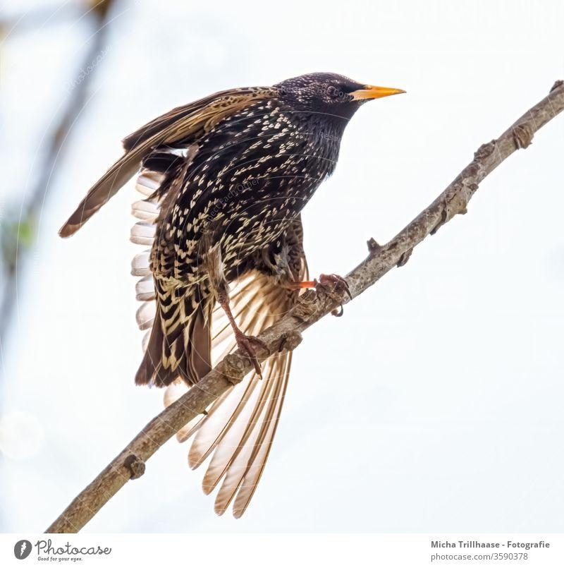 Star streckt sich Sturnus vulgaris Tiergesicht Vogel Schnabel Auge Feder Flügel Krallen Kopf Natur Gefieder strahlend glänzend Zweige Äste Sonnenschein