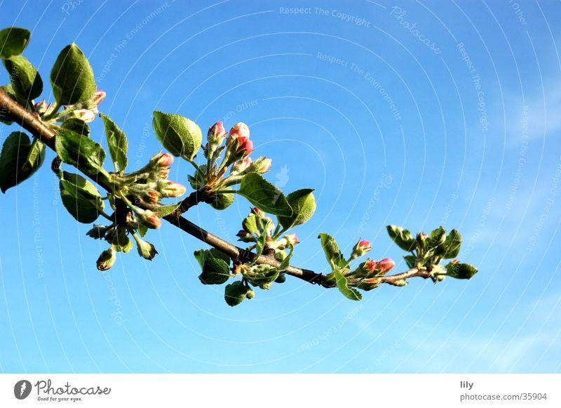 Apfelblüte Apfelbaum Blüte Blatt Sommer Zweig Blauer Himmel