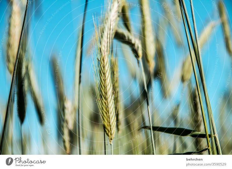 (über)lebenswichtig Feld Getreide Himmel Hafer Weizen Roggen Gerste Getreidefeld Sommer Landwirtschaft Ähren Natur Kornfeld Lebensmittel Menschenleer Landschaft