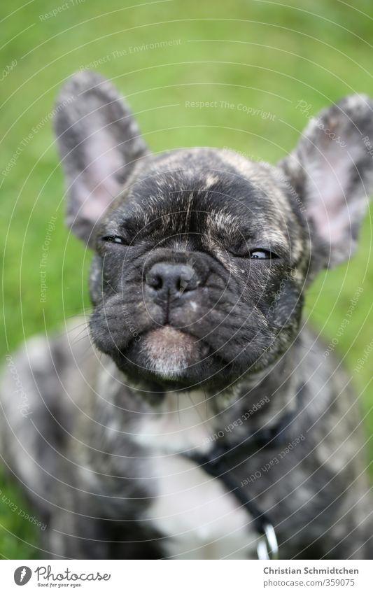 Freundlicher Bully Hund grün schön Freude Tier schwarz Tierjunges lachen Glück Gesundheit sitzen Zufriedenheit Lächeln Fröhlichkeit Coolness Freundlichkeit