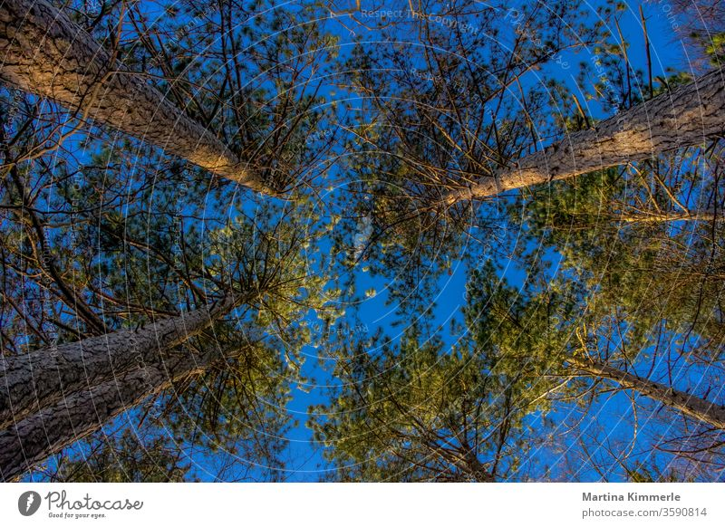 Kiefern von unten nach oben fotografiert gegen einen blauen Himmel in der Abendsonne Ast Baum Blatt Blätter Bäume Frühling Grün Herbst Holz Jahreszeit