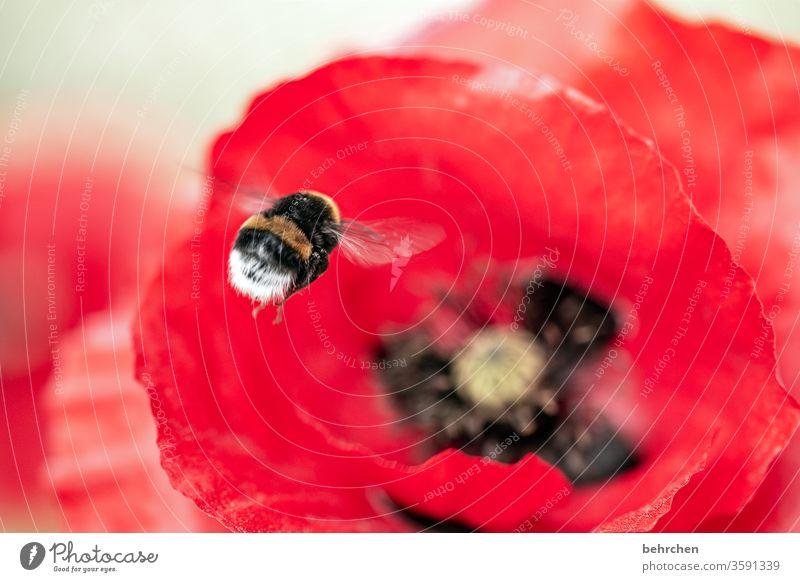 hummel hummel...mohn mohn Nahaufnahme Wiese schön Nutzpflanze Licht Landschaft Blütenblatt Menschenleer Umwelt Wärme Wildpflanze Farbfoto Außenaufnahme rot