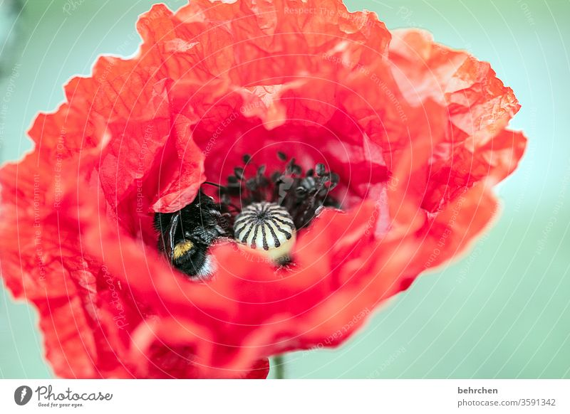 alt | faltig und zerknittert Flügel fliegen Biene Hummel Garten Blütenstaub leuchtend prächtig Pollen Blütenstempel Mohnkapsel mohnblumen Mohnblüte Blume blühen