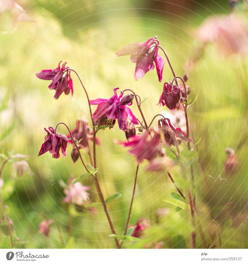 kaiserblume Natur Pflanze Sommer Schönes Wetter Blume Blatt Blüte Akelei Blumenbeet Garten Park ästhetisch hell weich rosa Idylle zart Unschärfe Pastellton