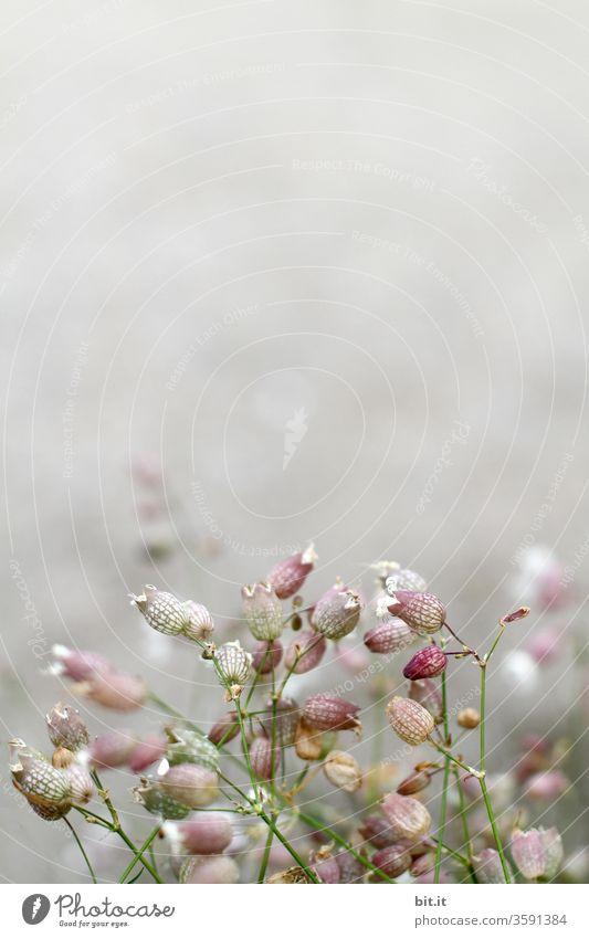Viele, filigrane, leichte Sommerblumen mit schwacher Tiefenschärfe vor weißem, grauem, hellem Hintergrund. Zarte rosa Nelkengewächs-Blüten mit Unschärfe. Wildblumen, Frühlingsblumen klein, rund, frisch, blühend als Dekoration, Verziehrung vor heller Wand.