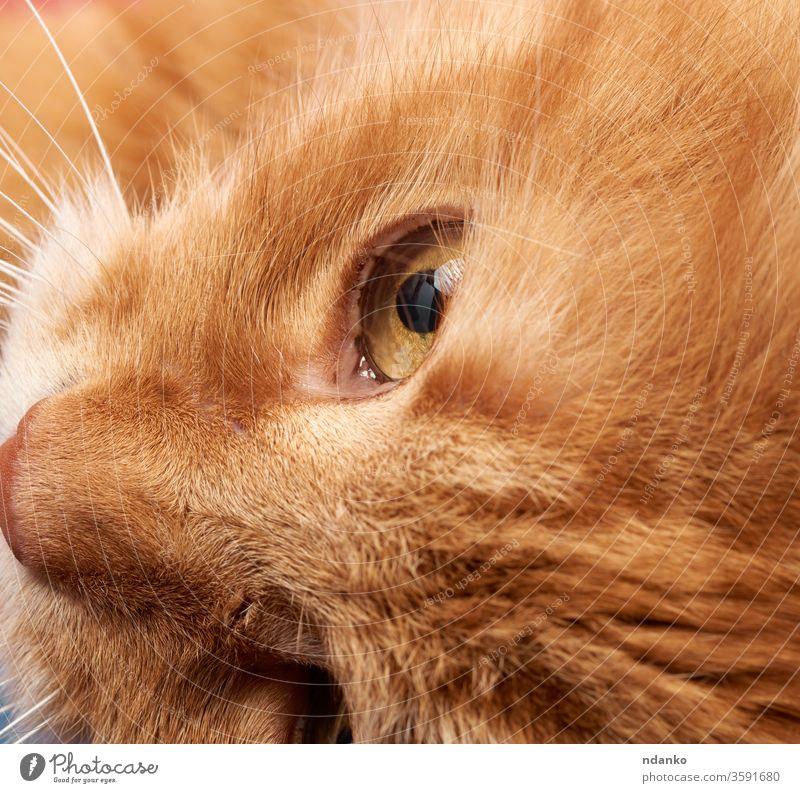 offenes gelbes Auge einer roten Katze bezaubernd Erwachsener Tier Hintergrund schwarz braun Nahaufnahme Farbe niedlich Detailaufnahme heimisch Gesicht