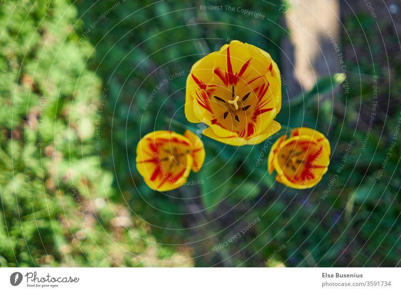 Gelbe Tulpen im Garten Frühlingsblume Frühlingsgefühle Feste & Feiern Dekoration & Verzierung Blumenstrauß gelb grün Geschenk Vatertag Muttertag Ostern.