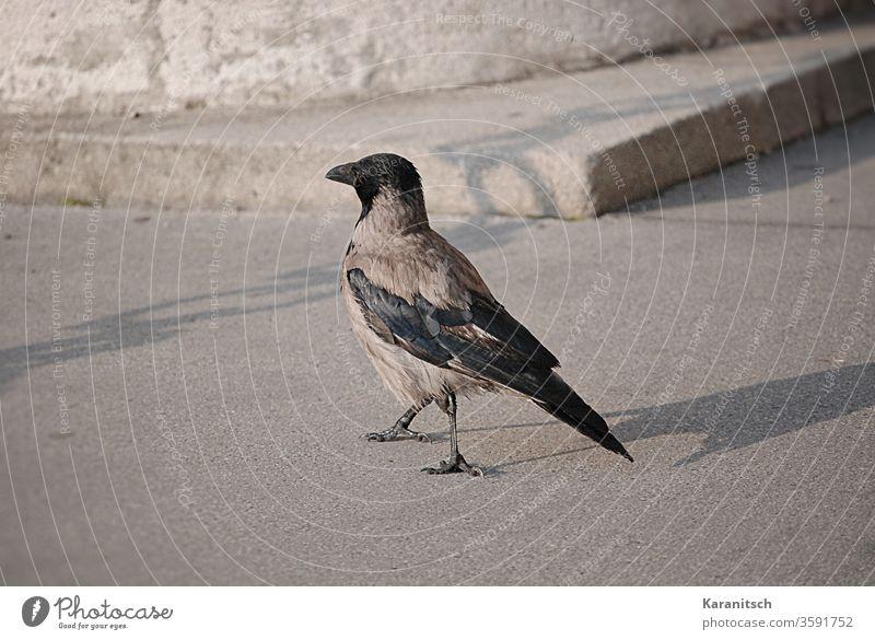 Eine Krähe beim Morgenspaziergang. Nebelkrähe Corvus Cornix Sperlingsvogel Vogel Rabenvogel Singvogel Tier Futtersuche spazieren Straße Sonnenschein Schatten