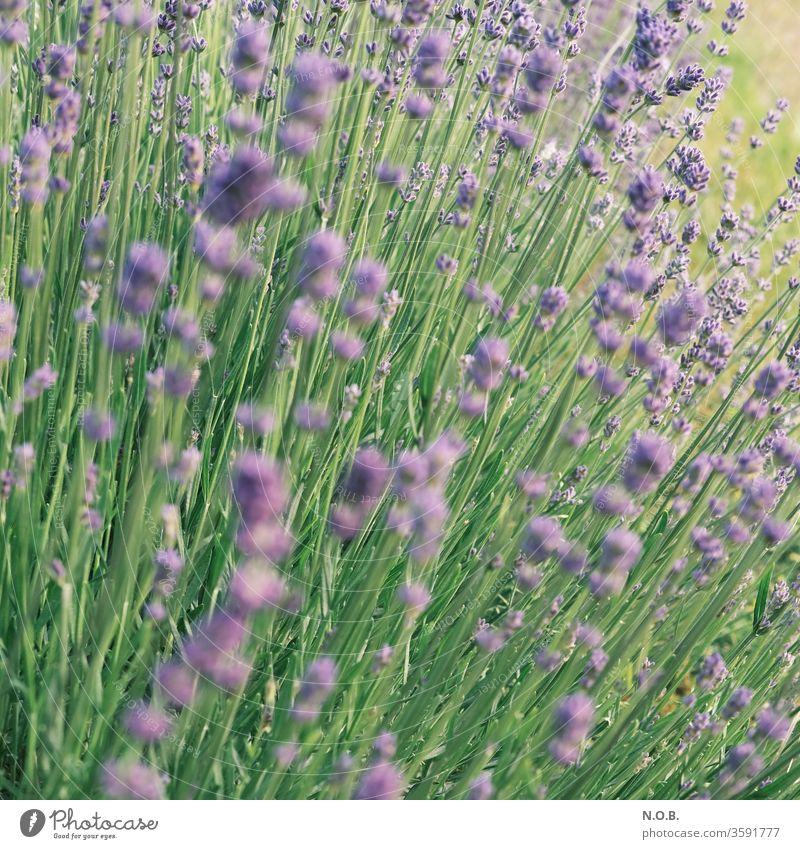 Lavendel im Quadrat Pflanze Blüte violett Duft Natur Blume Farbfoto Sommer Schwache Tiefenschärfe Außenaufnahme Tag Blühend grün Menschenleer Heilpflanzen Farbe