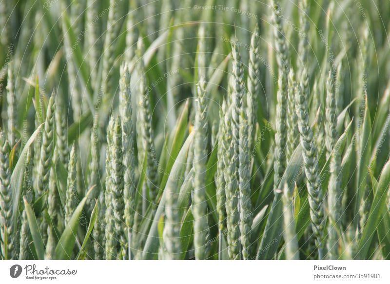 Getreide Getreide, Landwirtschaft, Natur Korn Feld Ackerbau Pflanze Ernte Ähren Kornfeld Grün
