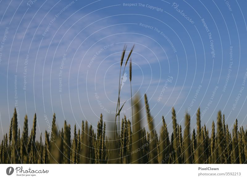 Getreideanbau und darüber ein strahlend blauer Himmel Feld Korn Landwirtschaft Kornfeld Lebensmittel Ernährung Ackerbau Natur Sommer Ähren Nutzpflanze