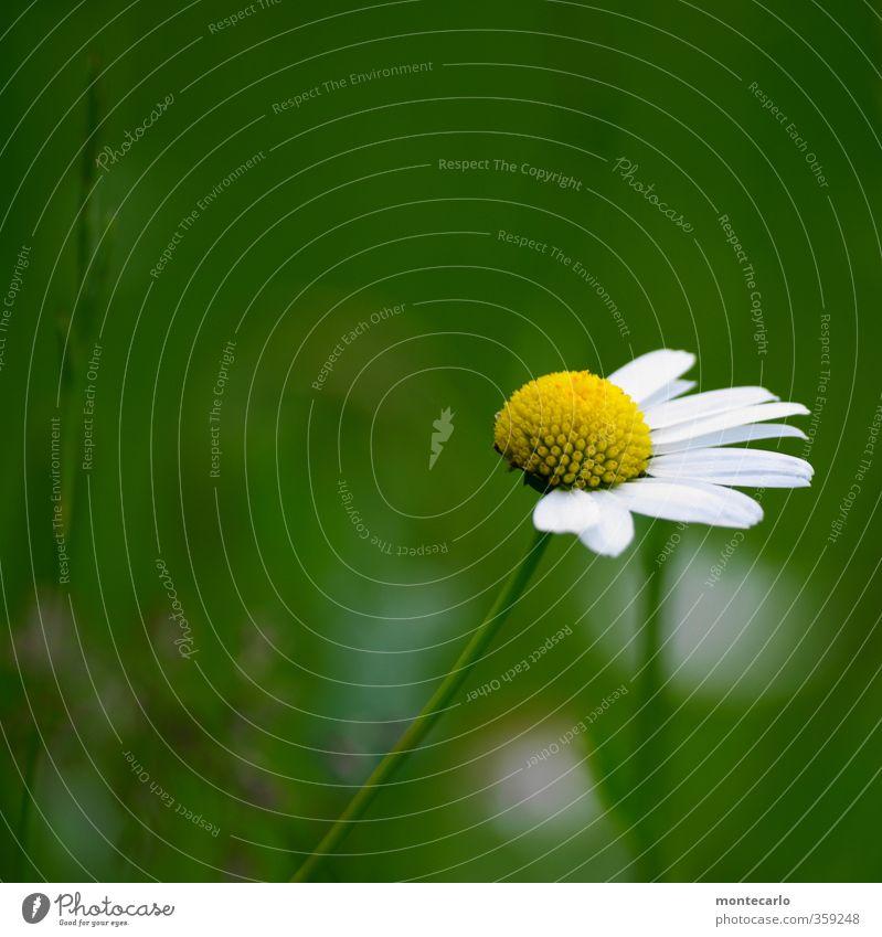 Sie liebt mich..... Natur grün weiß Sommer Pflanze Blume Blatt Umwelt gelb klein Blüte natürlich authentisch kaputt einfach dünn